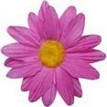 Fleurs sans tige fuchsia
